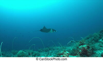 Manta ray on a coral reef