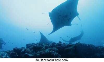 Manta Rays Swimming in Ocean Blue