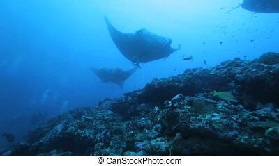 Mantas swimming in a row - Mantas (Manta birostris), ...