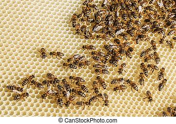 mantener, abeja