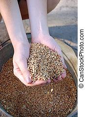 mantener, trigo, seeds., manos