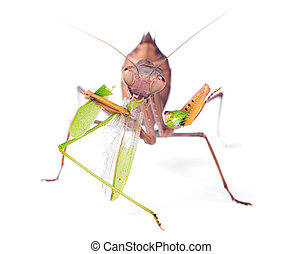 Mantis eats locust, isolated on white background.