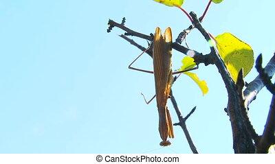 Mantis hanging - Large brown mantis lies in wait, patiently...