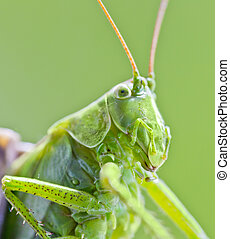 mantis, insecto
