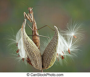 Mantis on milkweed