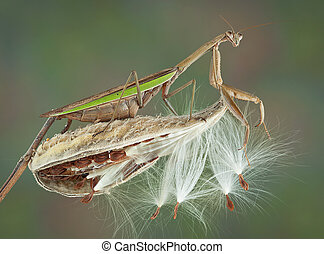 Mantis on milkweed pod