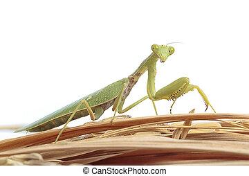 Mantis on white background.