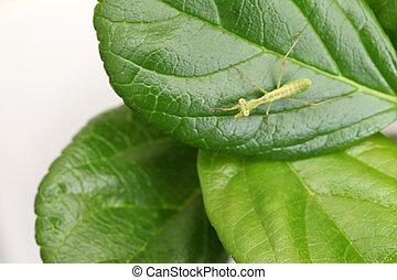 mantis praying, larva