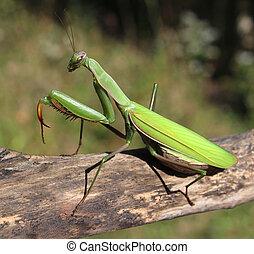 mantis, rezando