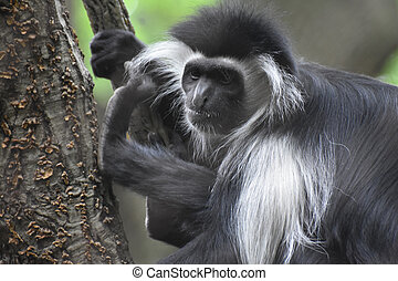 Mantled Colobus Monkey with Long Shaggy Fur on His Back