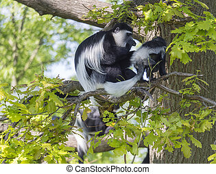 Mantled guereza monkey also named Colobus guereza with her baby little monkey sitting on tree branch, natural sunlight, copy space