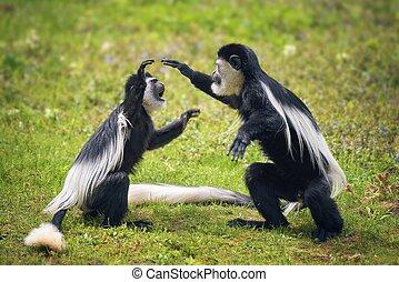 mantled, guereza, twee, vecht, gras, aapjes
