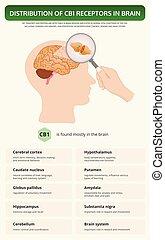 manuel, distribution, cb1, vertical, récepteurs, infographic, cerveau
