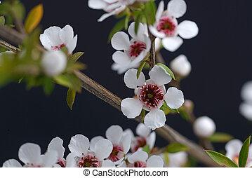 manuka flowers - Flowers of New Zealand manuka, Leptospermum...