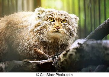 Manul is a predatory mammal of the cat family. The second name is the Pallas cat. Rare animal on the verge of extinction.