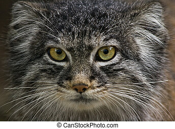 Manul or Pallas cat - Solitair living wild cat living in...