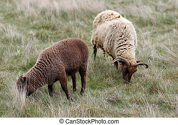 Manx Loaghtan ewe rare breed sheep with dark brown head, legs, lighter brown coat, curled horns with a dark brown lamb grazing on a rough grass field.