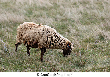 Manx Loaghtan ewe rare breed sheep with a dark brown head and legs, lighter brown coat and curled horns grazing on a rough grass meadow.