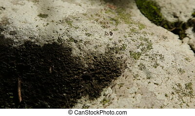 Many ants move the stone. - Group of ants moving in the...