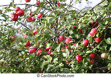 Many apples hanging on the branches
