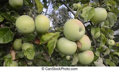 many apples on tree - many apples ripening on tree branches...