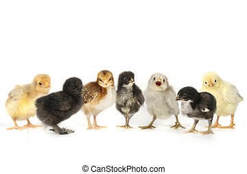 Many Baby Chick Chickens Lined Up on White - Multiple Baby...