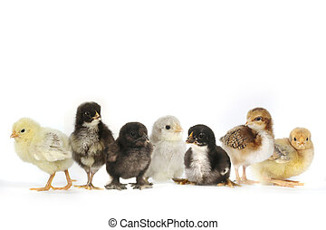 Many Baby Chick Chickens Lined Up on White