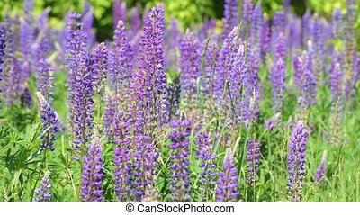 Many beautiful glade with blooming lupins - Beautiful glade...
