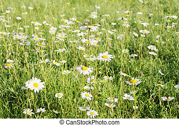 many beautiful little daisies