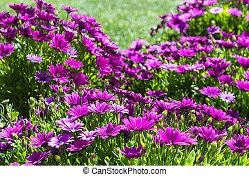 many Bellis flowers on meadow in spring