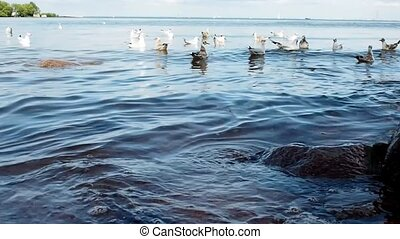 Many birds float on the ocher, surf. seagulls float in water...