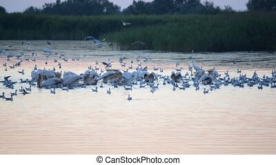 Many birds forage on water at dawn