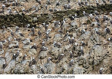 Many birds in Ballestas Islands, Peruvian Coastline, Paracas National Park, Peru.
