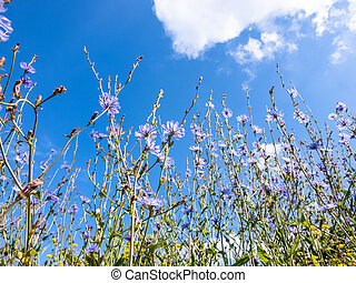 Many Blue chicory flowers against the sky