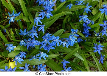 many blue small flowers among green grass on the ground