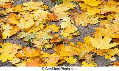 Many bright yellow maple leaves lie on ground