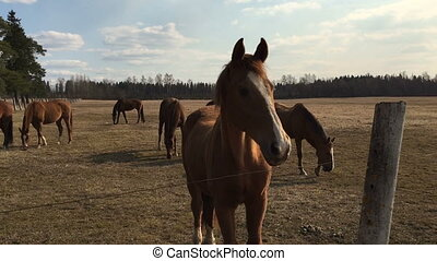 Many brown horses in the corral that eat grass. Video full...