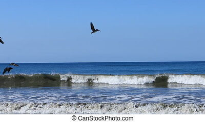Brown Pelicans, Pelecanus occidentalis, fishing in Costa...