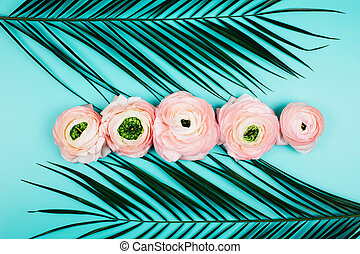 Many buds in a row of pink ranunculus flowers on turquoise background.