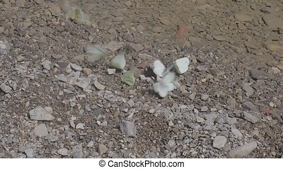 Butterflies on river water