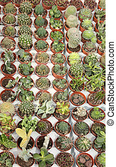many cactus plants for sale in the greenhouse