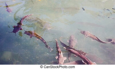 Many catfishes at Jordan river in Israel