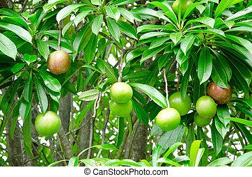 Cerbera oddloam fruit