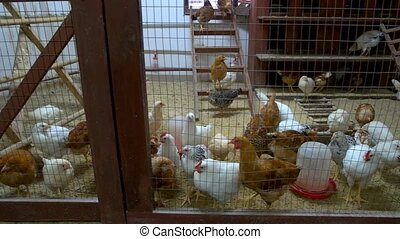 Many chickens in hen house at poultry farm. Chickens walking...