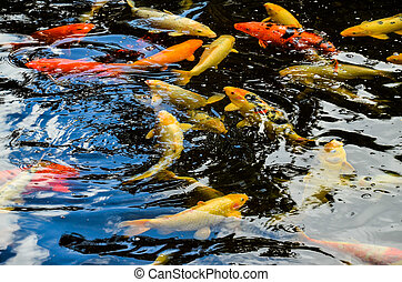 Many Colored Koi Carps in a Dark Pond
