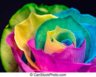 Many colored rose blossom, closeup