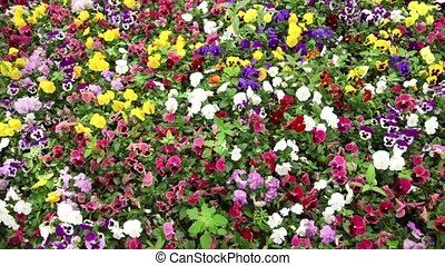 Many colorful pansy flowers swaying in the wind - Many...
