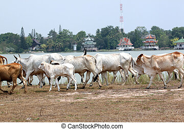 many cows are walking in farm.
