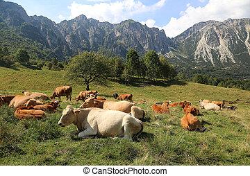 cows grazing near the Italian Alps in summer