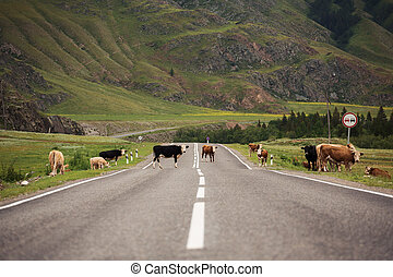 Many Cows On Rural Road